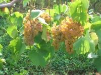chardonel-harvest-ii-2008-025
