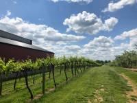 5-oclock-pic-vineyards
