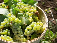 IN-Grown-takeover-1-grape-harvest